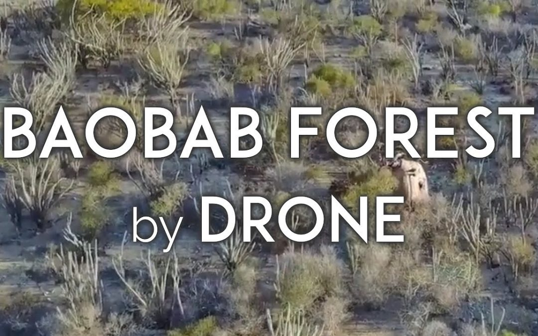 MAJESTIC BAOBAB FOREST from above in Madagascar, AERIAL DRONE VIDEO DJI Mavic Pro